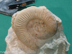 Fossile Schnecke / fossil snail