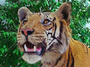 Panthera tigris, Felidae, Royal Bengal tiger; ...