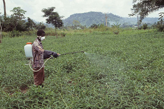 Farmer spraying insecticide in cowpea farm