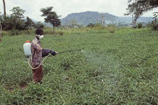 Farmer spraying insecticide in cowpea farm